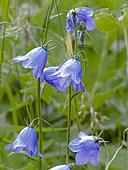 Campanula cochlearifolia (Campanule fluette), Parc national de la Vanoise, Savoie, France