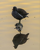 Moorhen (Gallinula chloropus) and its reflection, Etang de Commelles, Picardie, France