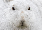 Mountain hare (Lepus timidus) close up, head details, Cairngorm, Scotland