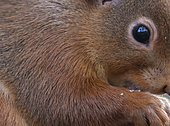 Red squirrel (Sciurus vulgaris) head details, Scotland