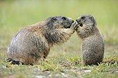 Alpine marmot (Marmota marmota) with young begging for food