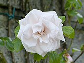 Rosa 'New Dawn' Obtenteur : Somerset (GBR) 1930
