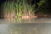 European beaver (Castor fiber) motionless on the surface, at night, Dead Arm of the Rhone River, Savoie, France