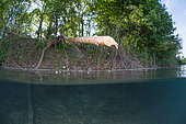 Branch eaten away by a beaver, above the water. Dead Arm of the Rhone River, Savoie, France