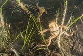 Reproduction of Common Toads (Bufo bufo) and their eggs in a lake, Ain, France