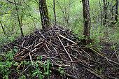 Beaver hut (Castor fiber) on an island, Isère, France