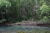 Large European Beaver hut (Castor fiber) on a dead arm of the river Ain, Ain, France