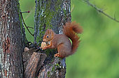 Eurasian red Squirrel (Sciurus vulgaris) with a nut, Normandy, France
