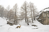 Red fox (Vulpes vulpes) in the snow, Valsavarenche, Aosta Valley, Alps, Italy