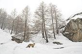 Renard roux (Vulpes vulpes) dans la neige, Valsavarenche, Vallée d'Aoste, Alpes, Italie