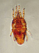 Twospotted Spider Mite (Tetranychus urticae) captured on an olive twig harvested from an olive grove in Espolla, Spain