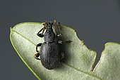 Cribrate weevil (Otiorhynchus cribricollis) caught at night on olive leaves.