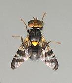 Cherry fruit fly (Rhagoletis cerasi) male, size 4.5 mm, Ceret, France