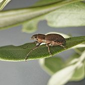 Cribrate weevil (Otiorhynchus cribricollis)caught at night on olive leaves.