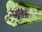Brown aphids under a leaf of apple tree.