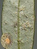 Three colonies of yellow mites (Brachytydeus formosa) under this olive leaf, the most dangerous for olives.