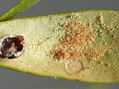 After turning over the adult Black scale of the olive tree (Saissetia oleae) fixed under a leaf, the quantity of eggs allows to imagine the damage that can make all the larvae. Oliveraie, Collioure, France