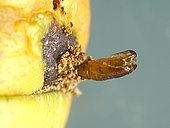 Chrysalis empty of ringworm (Cydia pomonella) from which the butterfly emerged. Its caterpillar fed on the apple for about 25 days.