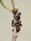 Black scale (Saissetia oleae) on an olive twig, watched by the ants that come to collect the nectar emitted by these mealybugs.