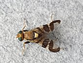 Parasitic fly of nuts (Rhagoletis completa). This insect lays its eggs on the nuts, whose maggots eat the husks and nuts.