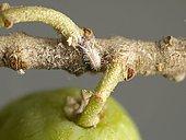 Cochenille farineuse (Pseudococcus longispinus) sur brindille d'olivier Picholine en provenance de Barbentane, Gard, France