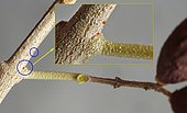 Belle démonstration de la toxicité des Acariens de l'olivier (Brevipalpus oleae) sur cette brindille, dont le pédoncule et les deux olives sont en cours de dessication, Mas Can Font, Banyuls, France