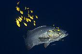 Mérou lancéolé (Epinephelus lanceolatus) suivi par sa horde de Carangues royales (Gnathanodon speciosus) à 85 m de profondeur, Mayotte