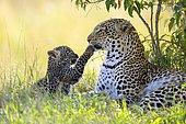 Leopard (Panthera pardus), female, playing with her cub, Maasai Mara National Reserve, Kenya, Africa