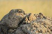Leopard (Panthera pardus), stalking, sneaking over a termite mound, Maasai Mara National Reserve, Kenya, Africa