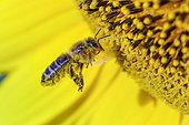 Abeille sauvage butinant des fleurs de tournesol, Bugey, France