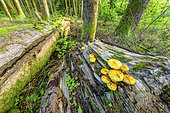 Pholiota limonella in a forest of Bugey, Ain, France