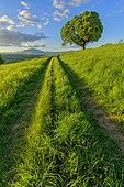 Centenary chestnut tree in the countryside, in the background the Jura Massif, Seyssel region, Haute Savoie, France