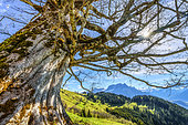 Centenary maple facing the Mont Blanc massif, Mayeres alpine pastures, Sallanches region, Haute Savoie, Alps, France