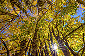 Light play in maple foliage in autumn, Aravis Massif, Haute Savoie, Alps, France