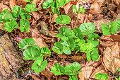 Young Beech (Fagus sylvatica) shoots in forest, Haut Jura, France