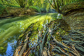 Roots of an alder on the banks of Cheran in autumn, Nature Reserve of the Marsh of Lavours, Bugey, Ain, France