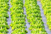 Lettuce (Lactuca sativa) on plastic mulches, Maraish, Rumilly region, Haute Savoie, France