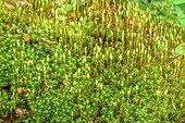 Polytrics and their sporogones in a Jura forest, Haute Chaîne du Jura, France