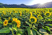 Sunflowers blooming, Lavours region, Bugey, Ain, France