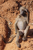 Chacma baboon (Papio ursinus) young scratching his head, Kruger, South Africa