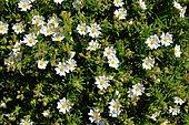 Montpellier Cistus (Cistus monspeliensis) flowers on the slopes of Capu Rossu, Gulf of Porto, Corsica, France