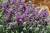 Cat thyme (Teucrium marum) flowers, Biotope: Cracks in rocks and coastal slopes, Gulf of Porto, Corsica, France