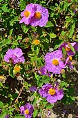 Red rockrose or Cistus crista (Cistus creticus) in bloom, Biotope: from 5 to 900m of altitude on rather deep substrates, Evisa region, Corsica, France