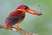 Oriental Dwarf Kingfisher (Ceyx erithaca) with insect in its beak, Johor, Malaysia