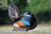 Ocellated Turkey (Meleagris ocellata), Guatemala