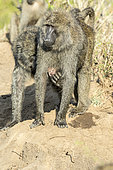 Anubis baboon (Papio hamadryas anubis), female carrying her newborn baby caressed by a male, Masai-Mara Reserve, Kenya