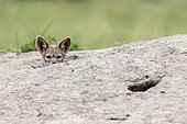 Jackal (Canis mesomelas), young curious emerging from the termite mound where he is hidden with others from the range, Masai-Mara Reserve, Kenya