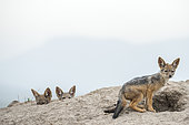 Jackal (Canis mesomelas), young curious emerging from the termite mound where they are hidden, Masai-Mara Reserve, Kenya
