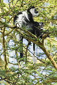 Colobe guereza (Colobus guereza), mâle dans les Acacias (Acacia xanthophloea), lake Naivasha, Kenya