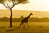 Masai Giraffe (Giraffa camelopardalis tippelskirchi), moving at sunset, Masai-Mara National Reserve, Kenya